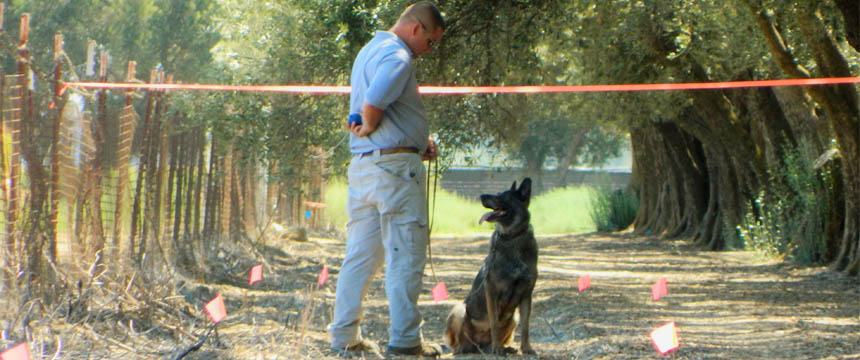 A german shephard stands near its trainer in an agricultural field marked with orange flagging