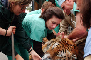 veterinarians attend to a tiger