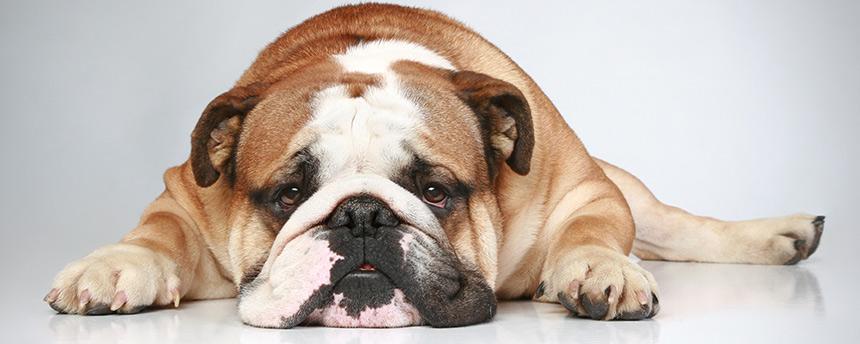 Bulldog laying down with head on floor