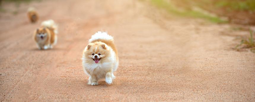 3 Pekinese dogs running up the road toward the camera