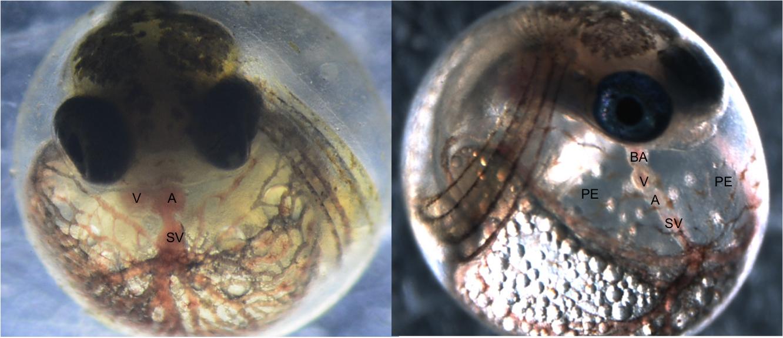 Atlantic killifish embryos