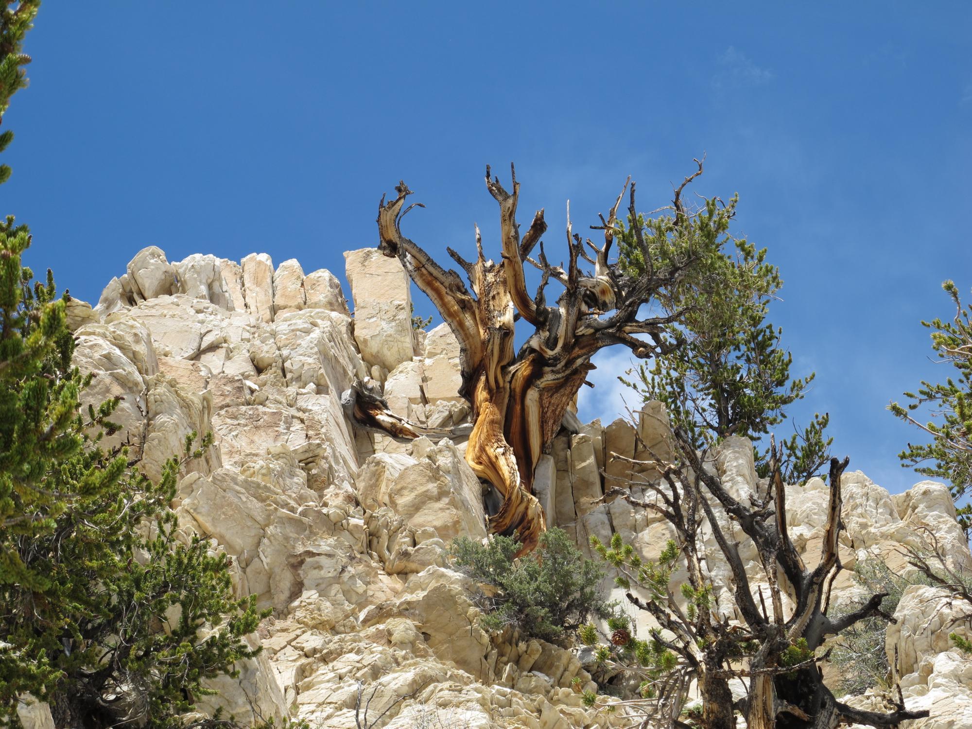 bristlecone pine on rock ledge