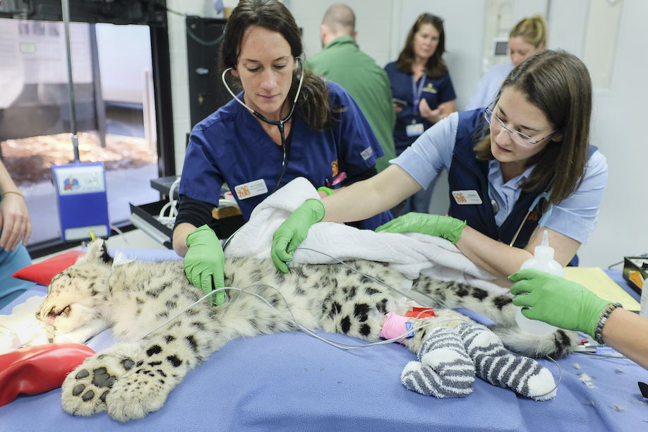 Two women veterinarians do eyelid surgery on snow leopard cub at Sacramento Zoo