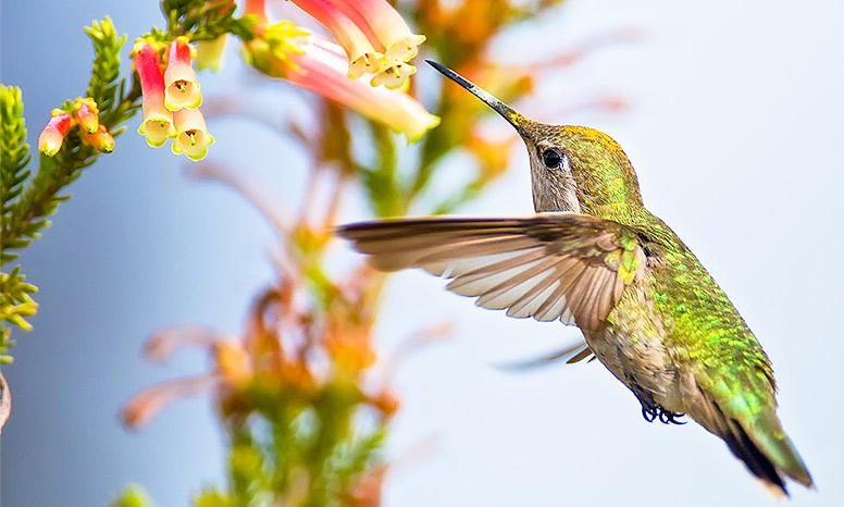 Anna's hummingbird approaching a flower.