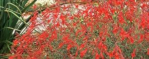 California fuchsia plant