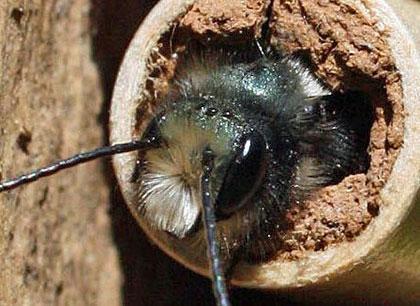 A male mason bee