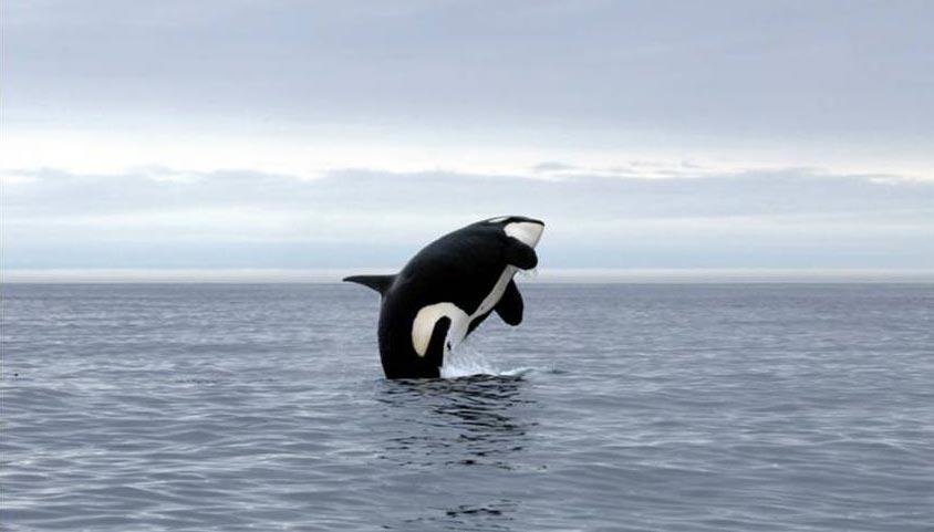 An orca breaches