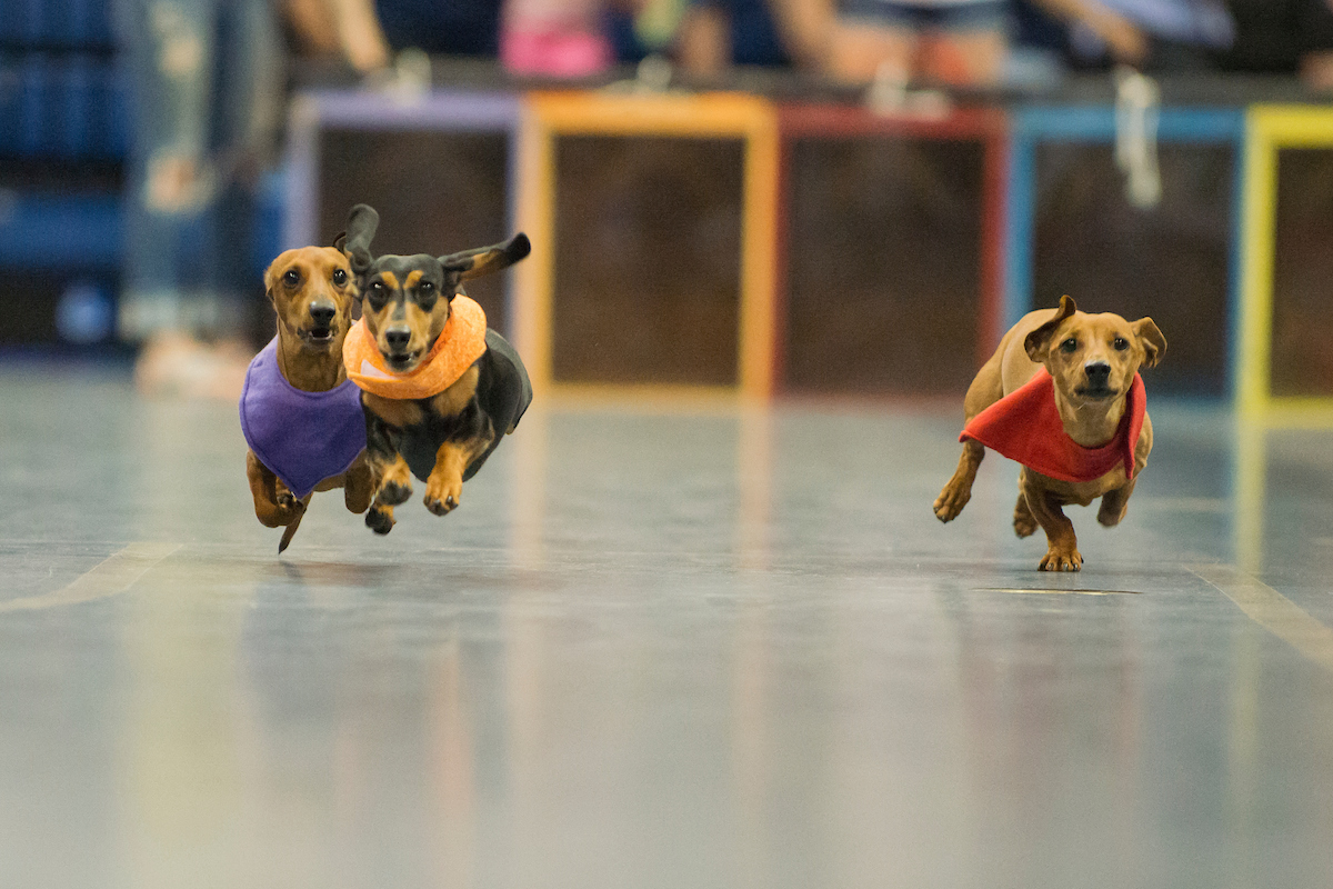 The fastest wiener takes all at the annual Doxie Derby.