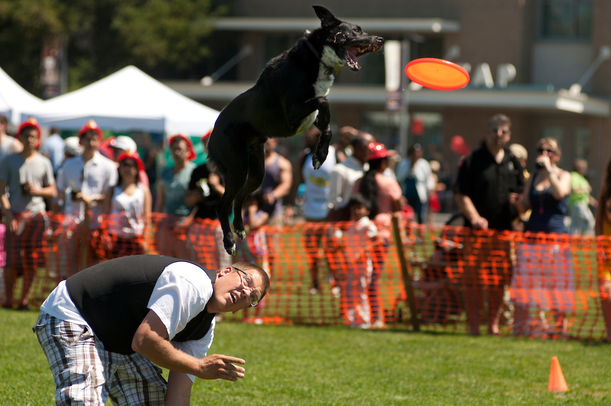 Savvy shepherds fly through the air to catch Frisbees at Huchison Field during UC Davis Picnic Day.